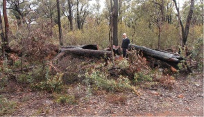 Shire Fire Protection Officer Gary Rowles inspects a fallen tree in a Shire reserve, which have been targets for illegal firewood collection.