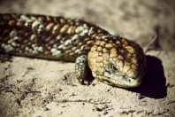 Bobtail lizard. Stock image