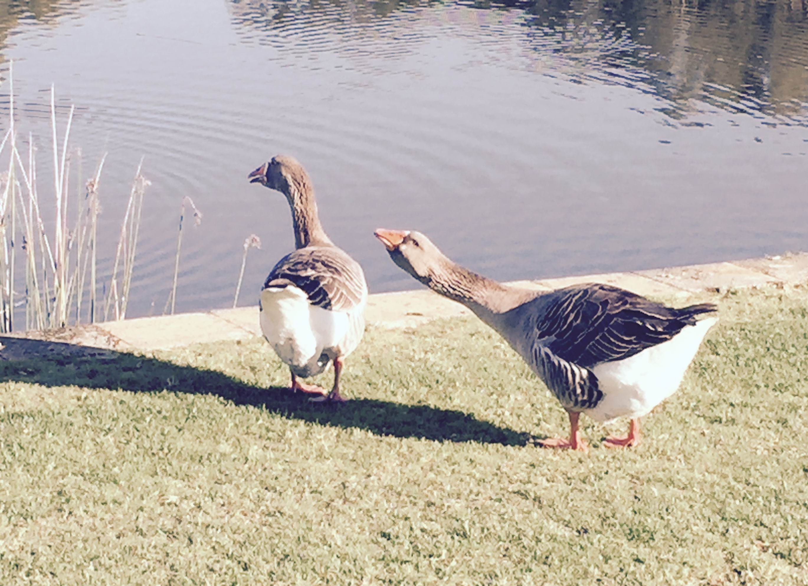 The missing Maylands geese.