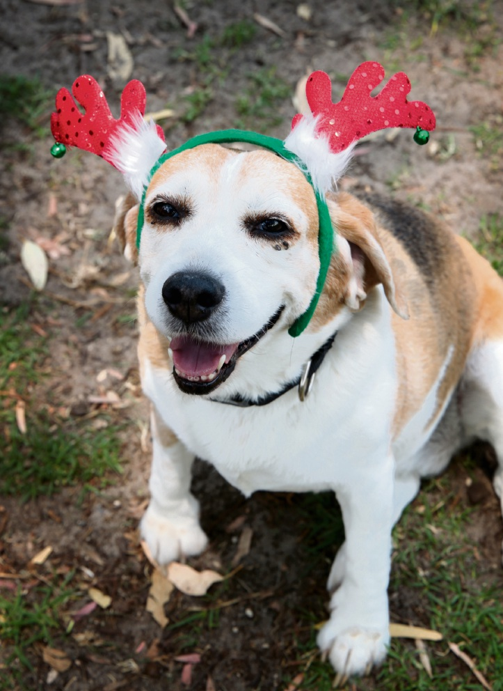 10-year-old beagle Martha got into the festive spirit. The beagles loved the range of games on offer. Picture: David Baylis        www.communitypix.com.au d462615