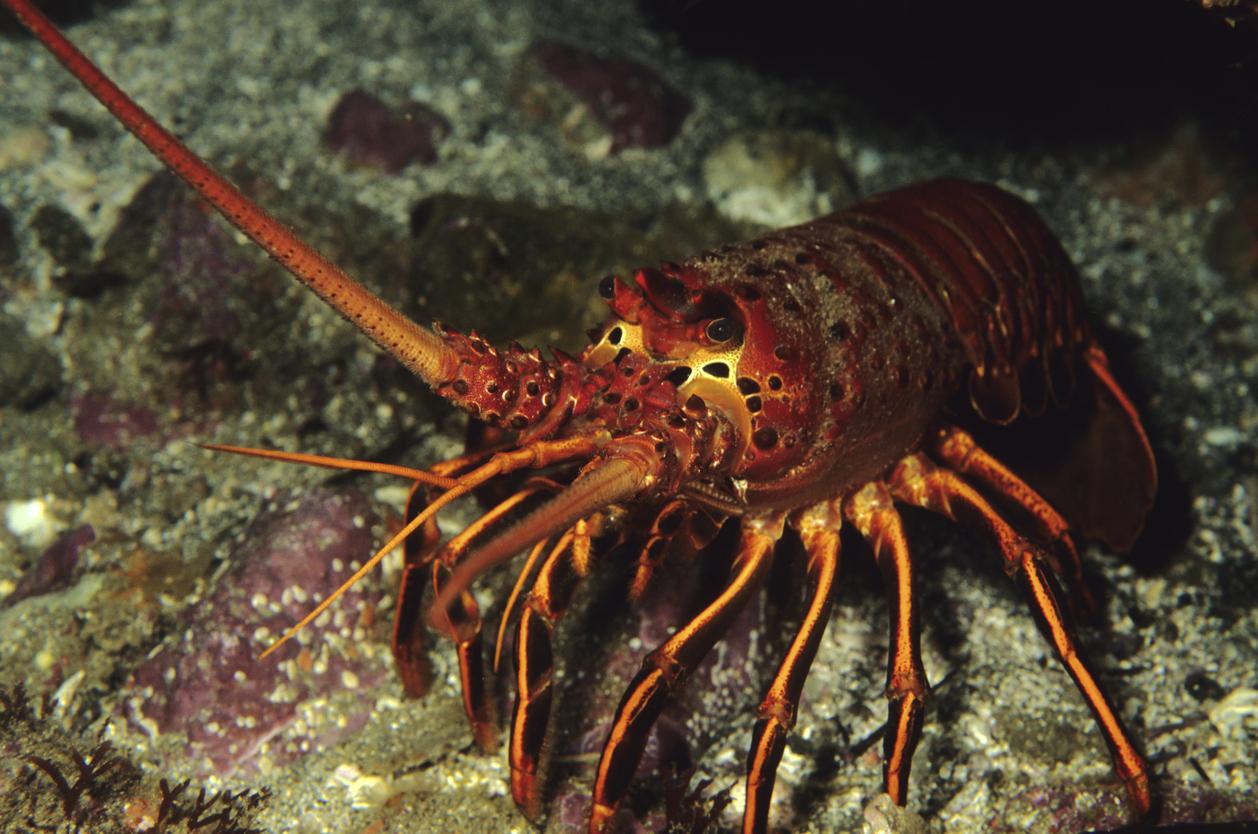 Fisheries minister warns against 'un-Australian' rock lobster theft