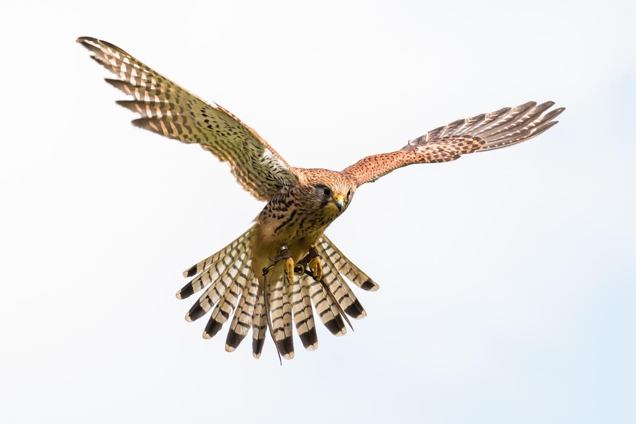 A kestrel hovering.