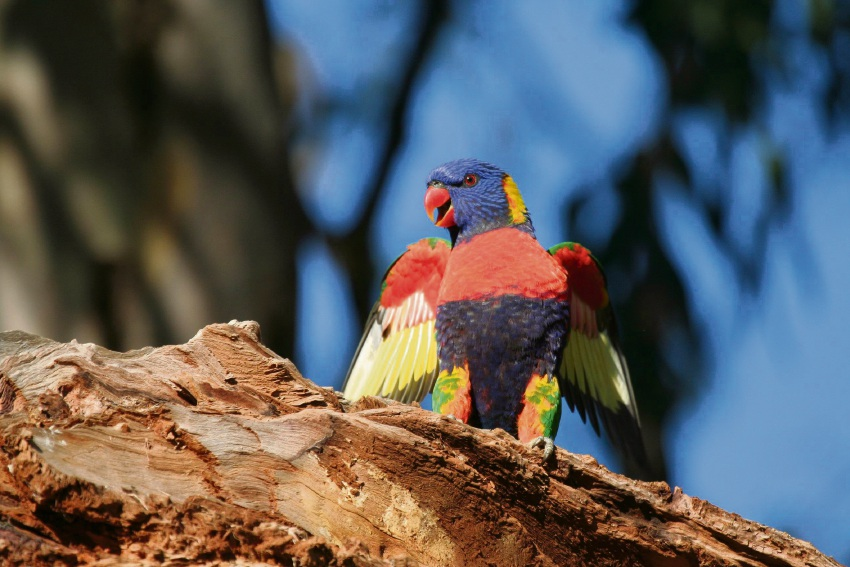 The rainbow lorikeet may look a pretty bird, but experts say they are an aggressive pest. Picture: Maris Lauva