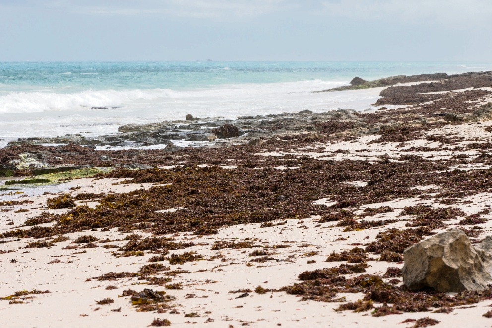 ECU research predicts seaweed piles on Jindalee beach and WA's south-west coastline could diminish with climate change. Picture: Will Russell.