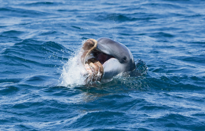 Murdoch's Mandurah Dolphin Research Project won $56,500 in the Regional Grants Scheme.