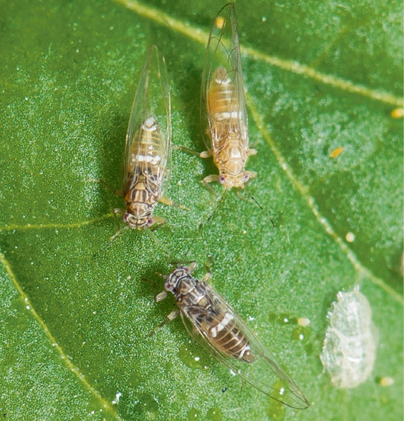 The tomato potato psyllid has shown up in Perth.
