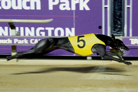 Cannington Greyhounds: racer flying high