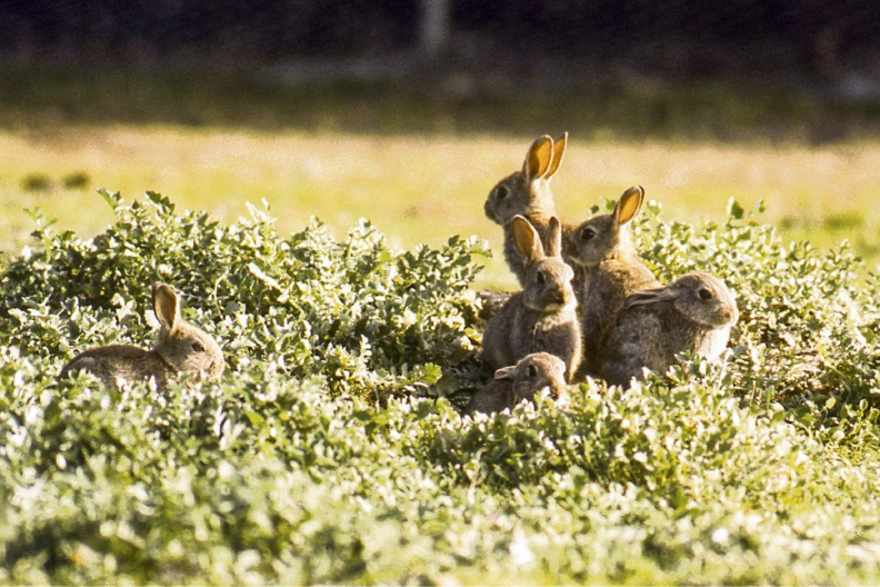 A new strain of the calicivirus is set to be rolled out across the east this month to cull the wild rabbit population.