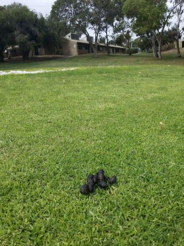 Mullaloo school littered with dog poo