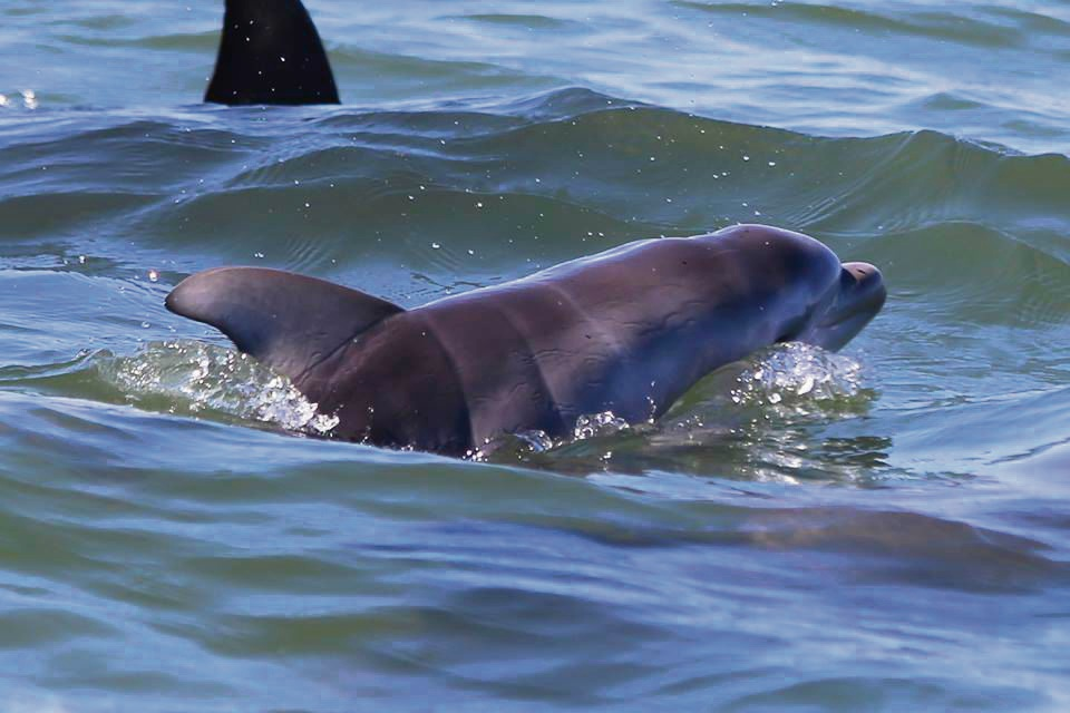 Mandurah dolphin Malika gives birth to a calf