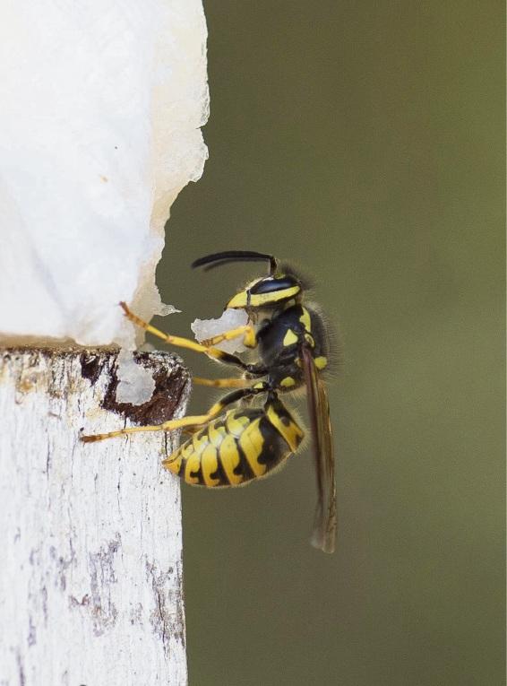 A european wasp.