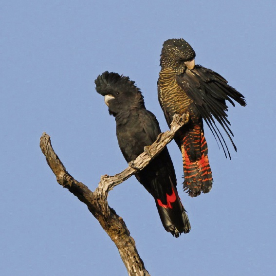 A pair of Forest red-tailed black cockatoos. Picture: Keith Lightbody