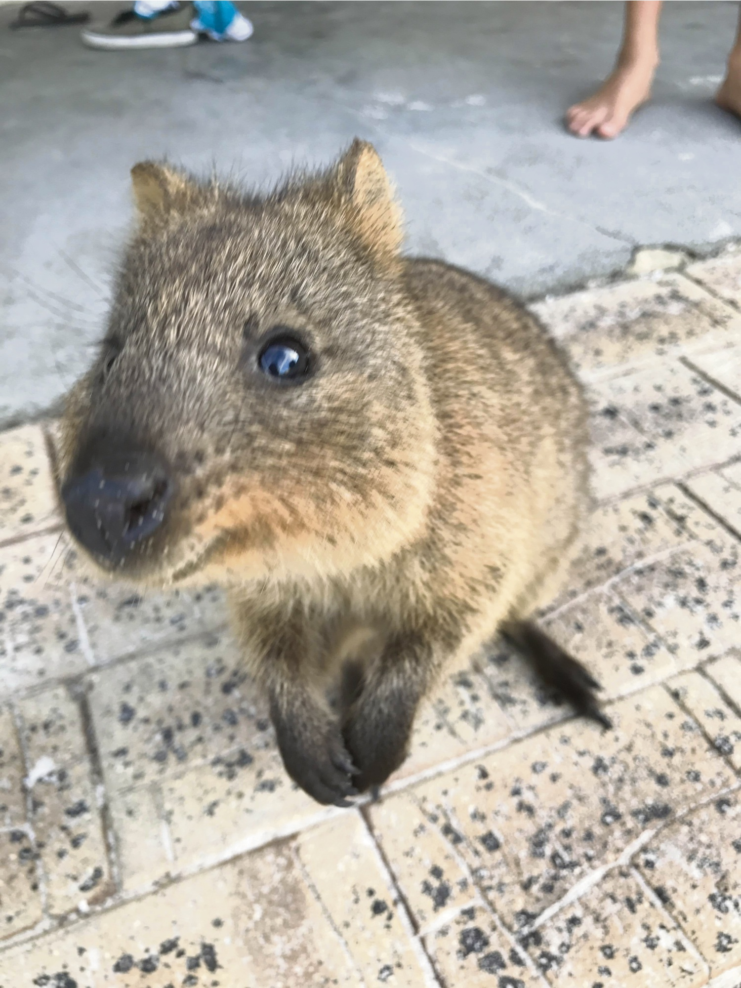 A Quokka (file photo).
