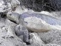 A flatback turtle.
