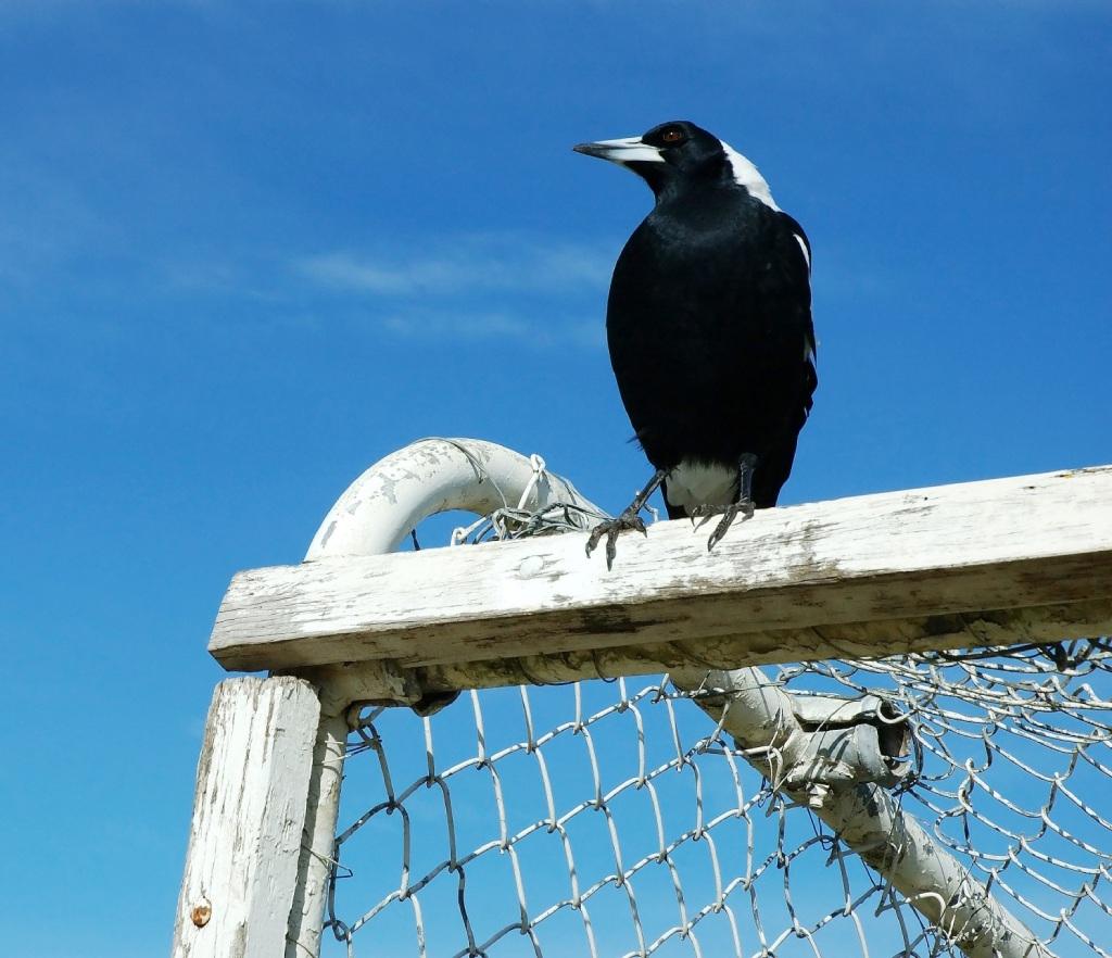Warning on swooping magpies in Perth