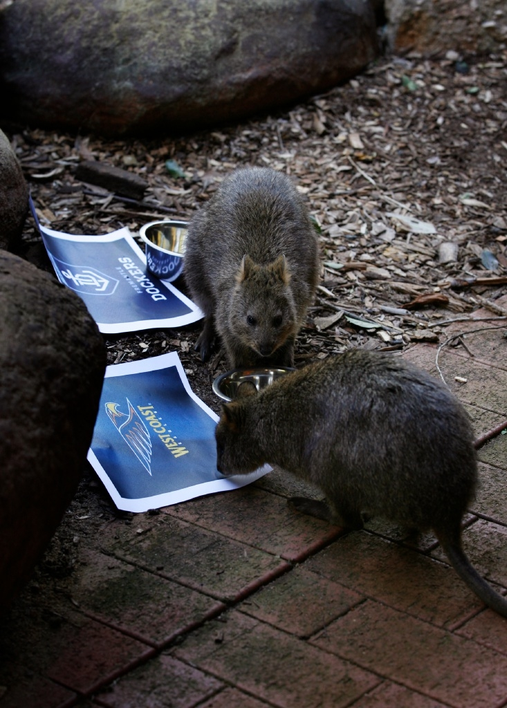 The marsupials have spoken... two of Perth Zoo's quokkas going for the Eagles' food bowl. Picture: Marie Nirme www.communitypix.com.au   d443795
