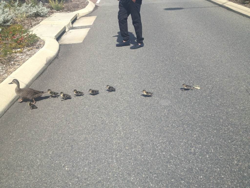 Security guards in duck rescue at Fiona Stanley