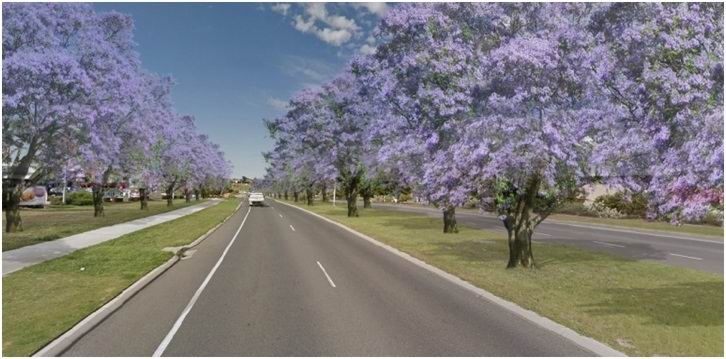 Marmion Avenue in Currambine to become beautiful sea of purple