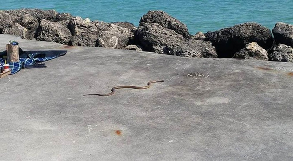 A snake spotted at Kwinana Beach last month.