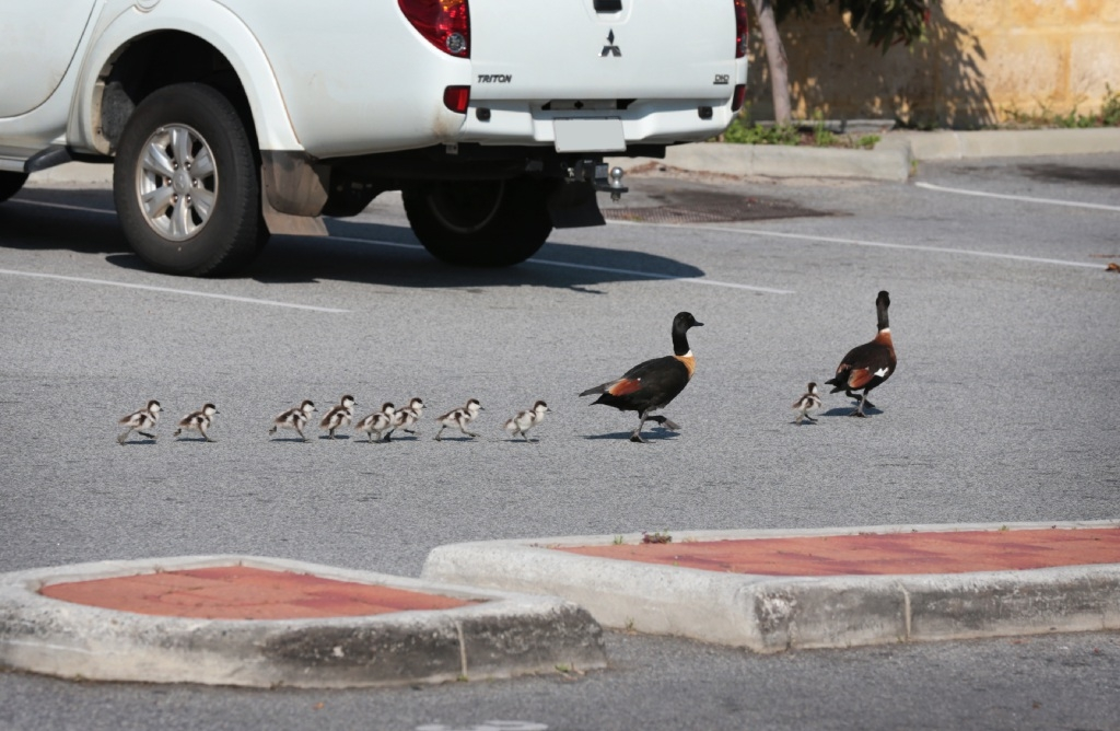 A family of ducks in the car park of the High Wycombe Shopping Centre. Picture: David Baylis        www.communitypix.com.au   d444519