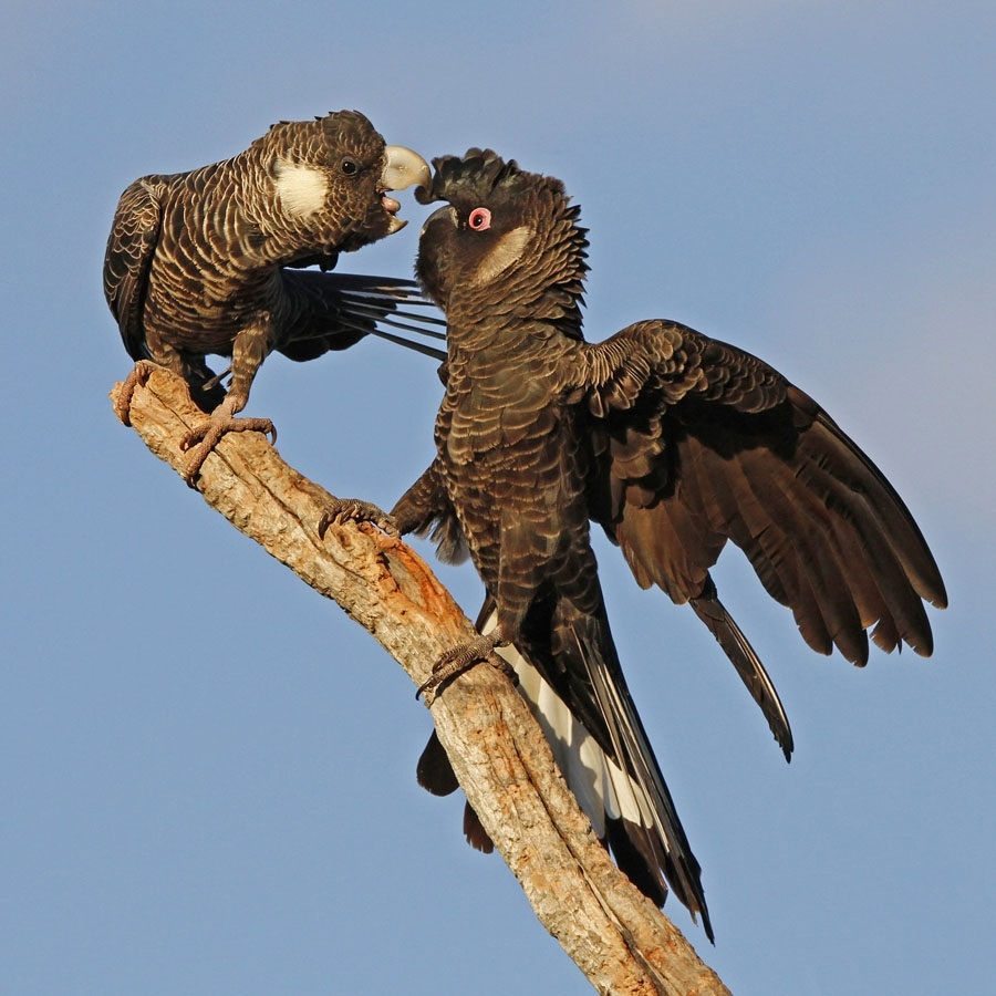The EPA will assess whether 96 potential black cockatoo habitat trees are in danger from the Thornlie-Cockburn Metronet link.