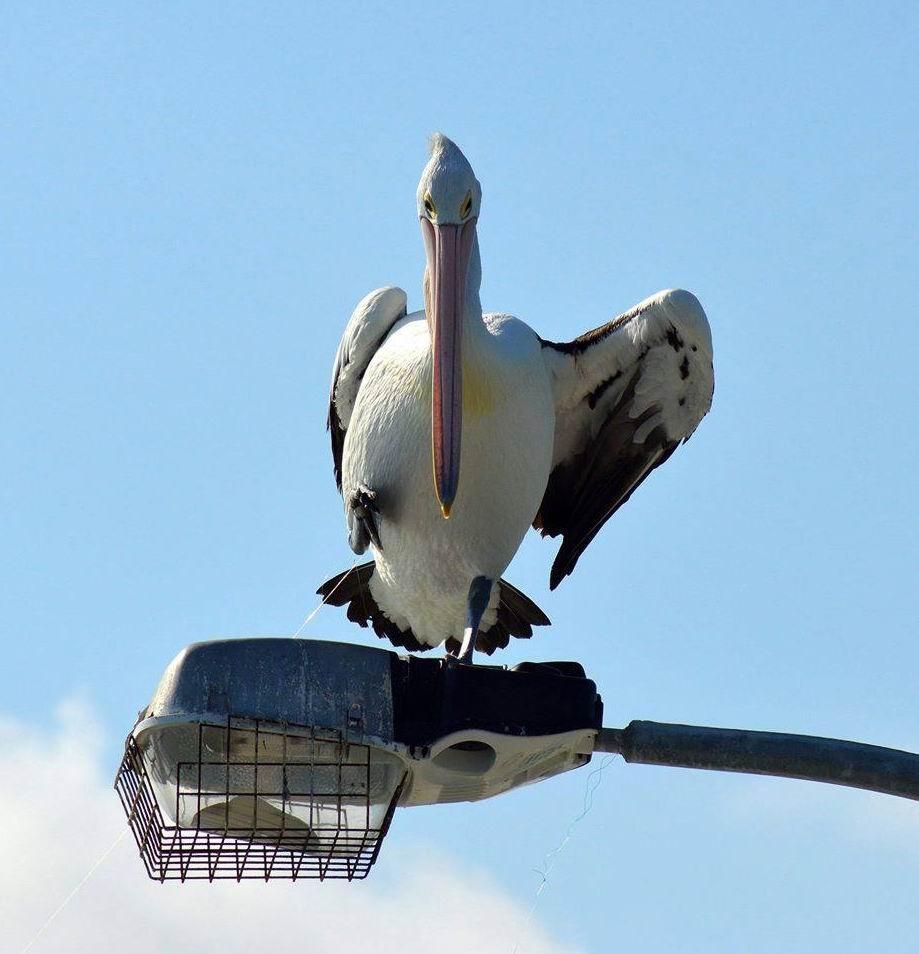 Bird man's plea: fishing lures a danger to pelicans