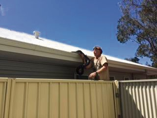 Secret Harbour snake catcher says python removed from Ravenswood yard biggest he's seen in suburbia