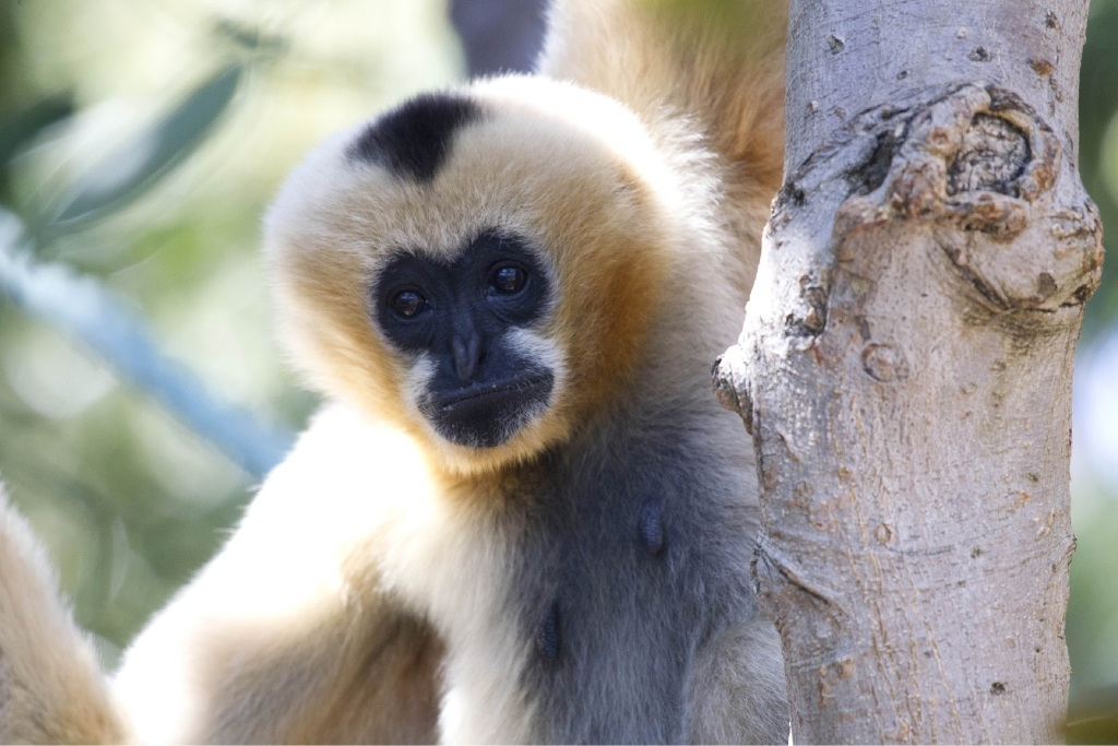 Perth Zoo embraces International Day of the Gibbon