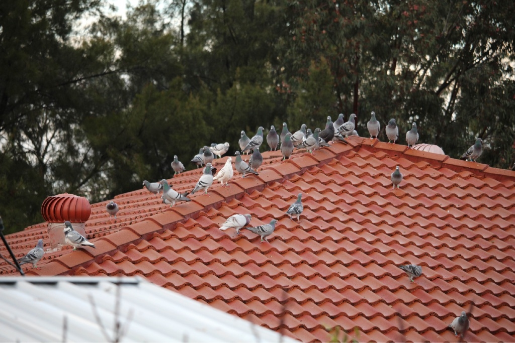 City of Swan has opted not to develop a local pigeon law similar to nearby local governments.