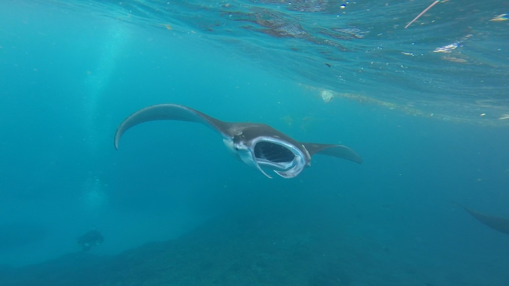 The effect plastics have on manta rays will be the subject of a study by Murdoch University student Elitza Germanov.