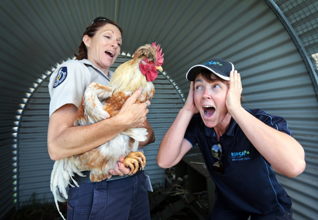Rescued but raucous roosters need homes:  RSPCA WA's Sharon Morgan holds one of them while Lynn Edmondson takes cover. Picture: David Baylis       www.communitypix.com.au   d447753