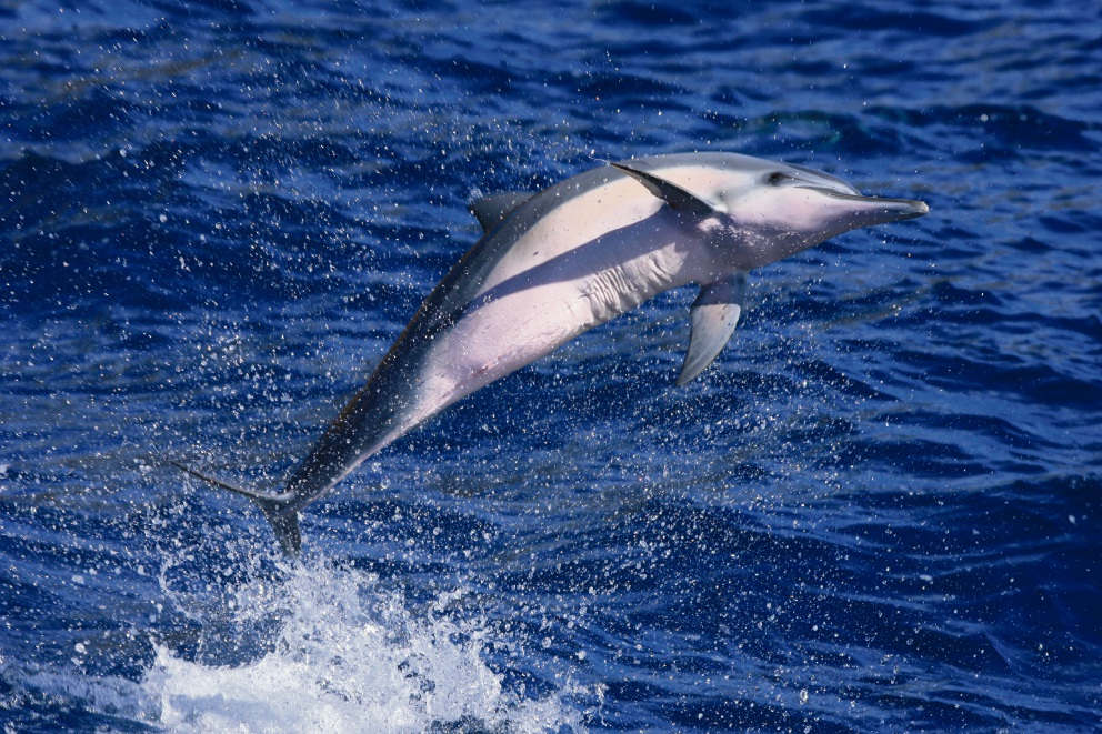 Hawaiian spinner dolphins may be negatively impacted by their constant exposure to humans.