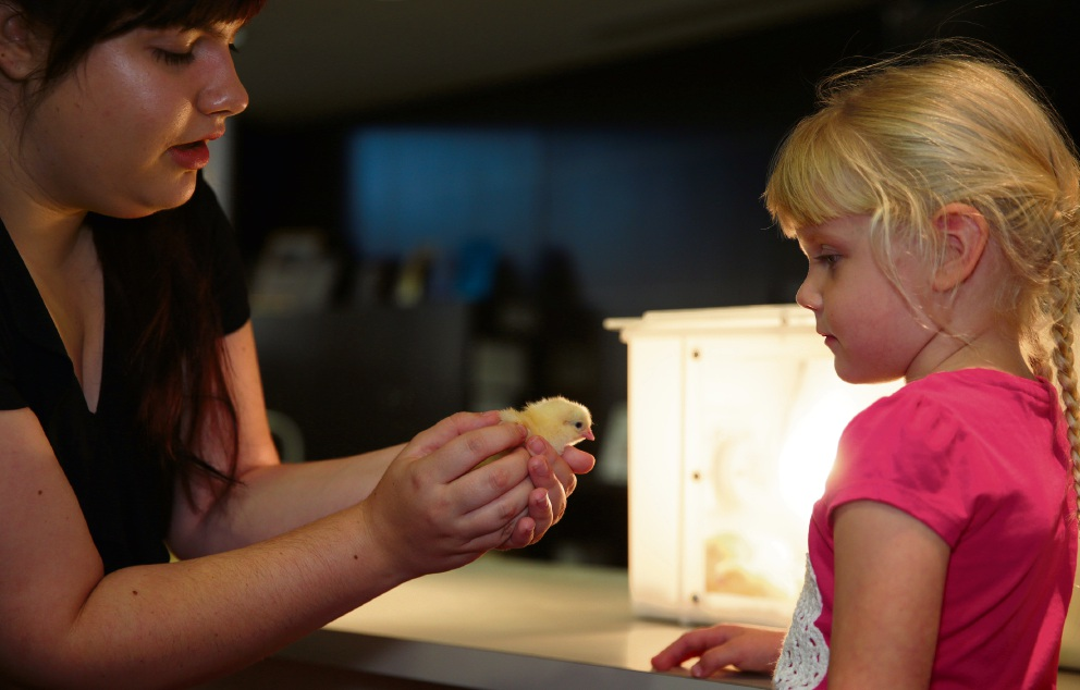 Children chuffed as chicks hatch at Wanneroo library