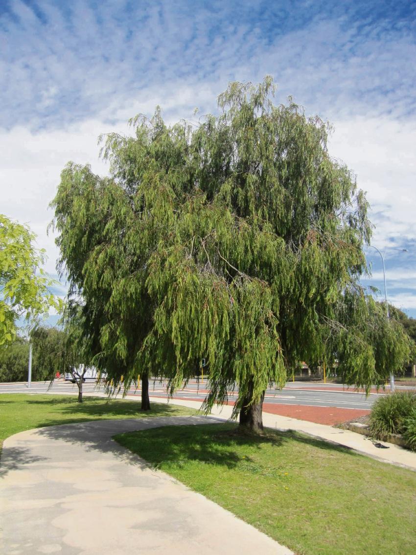 Peppermint tree on Selkirk Drive in Kinross.