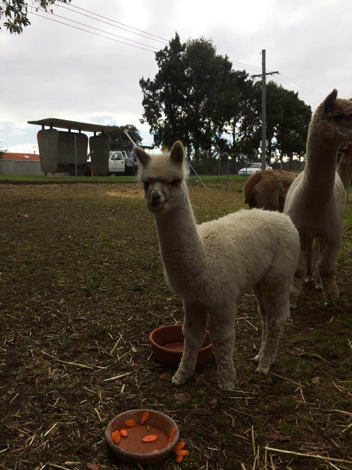 Jamie, the 11-month-old alpaca stolen from a property in Munster overnight. Picture: Natalie Simpson