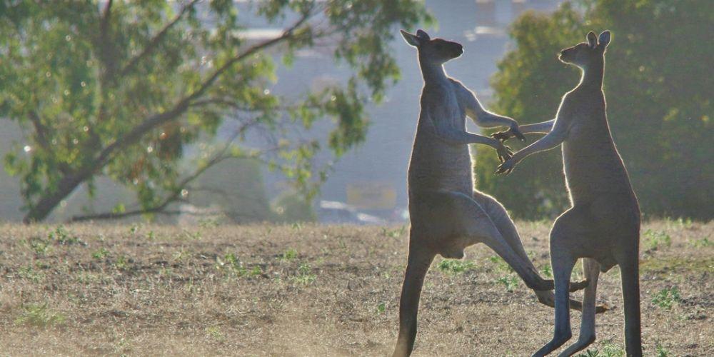 Western grey kangaroos. Picture: Gary Tate