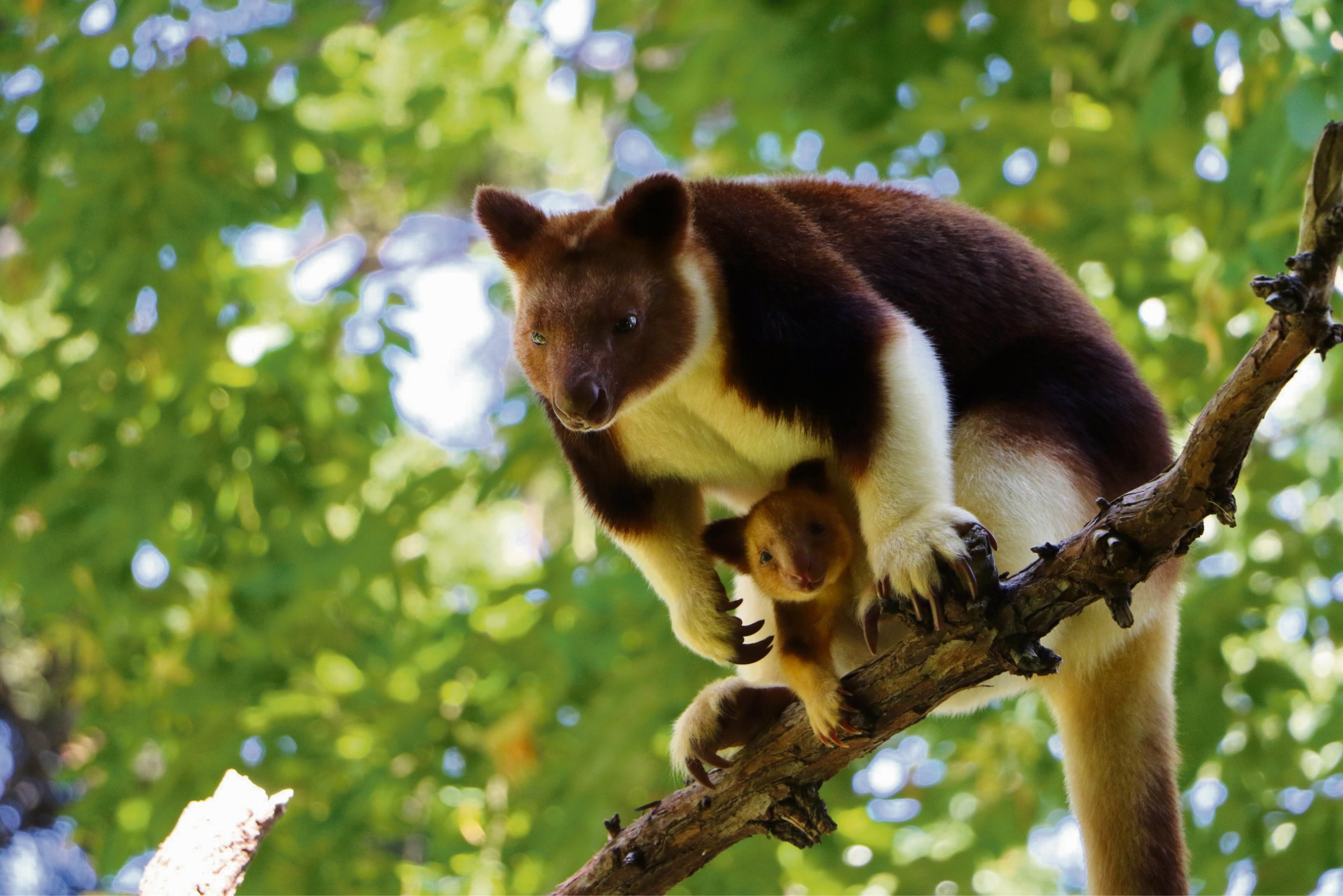 Tree kangaroo Haroli and mother Doba. Photo: Alex Asbury.