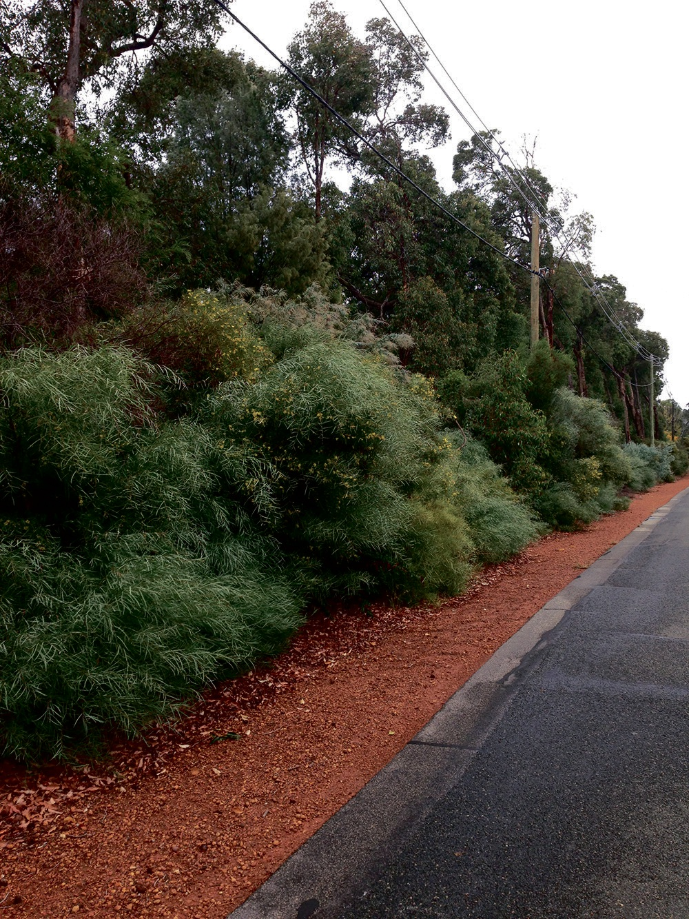 Acacia Iteaphylla or 'Flinders Ranges Wattle' is one of the targeted species in the Shire's weed removal.
