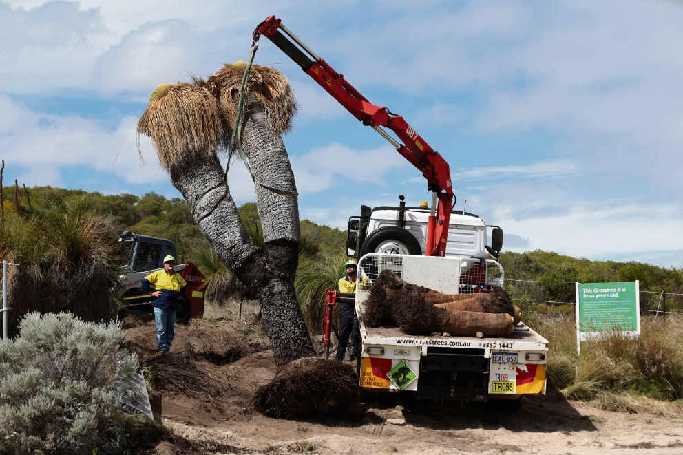 Thousand-year-old grasstree moved for shopping centre development