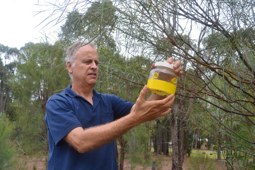 Top: DAFWA technical officer Alan Cord checks a trap. Above: European wasps on a fishing lure, and drinking water.