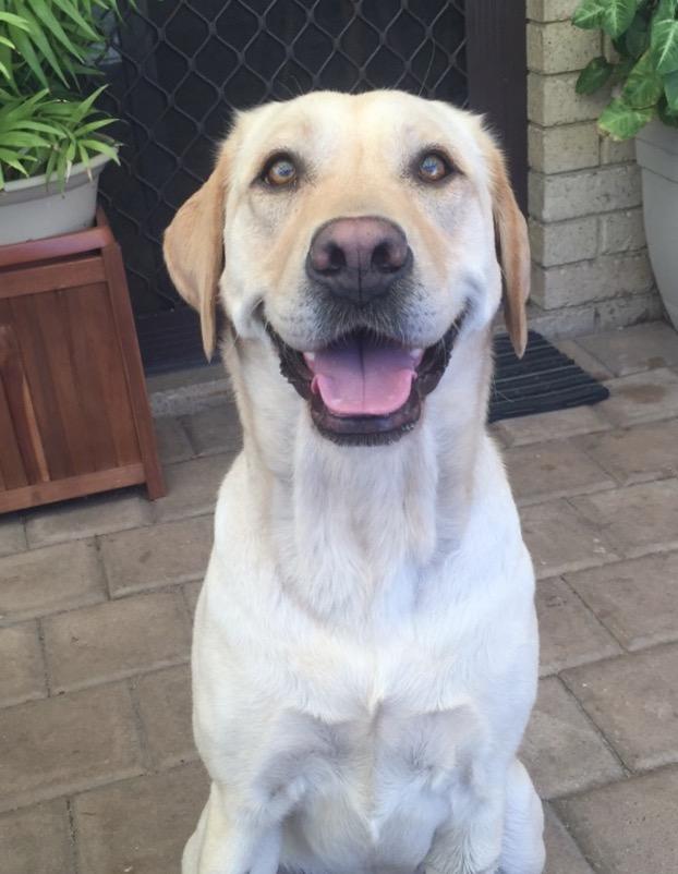 Luna, the Labrador who was attacked in Mirrabooka.