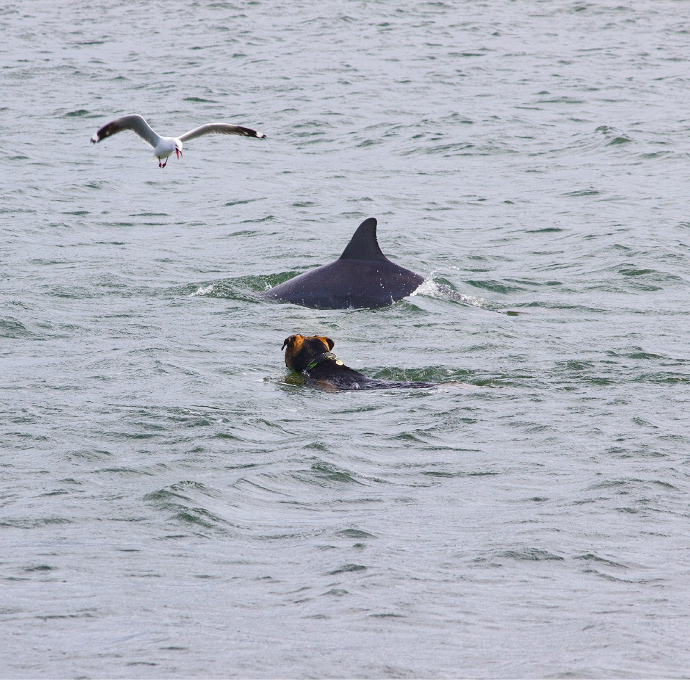 Community Newspaper Group deputy editor Lucy Jarvis took these amazing photos of a dog swimming with dolphins at the Dawesville Cut.