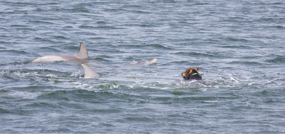 Dog joins dolphins for a swim in Dawsville Cut