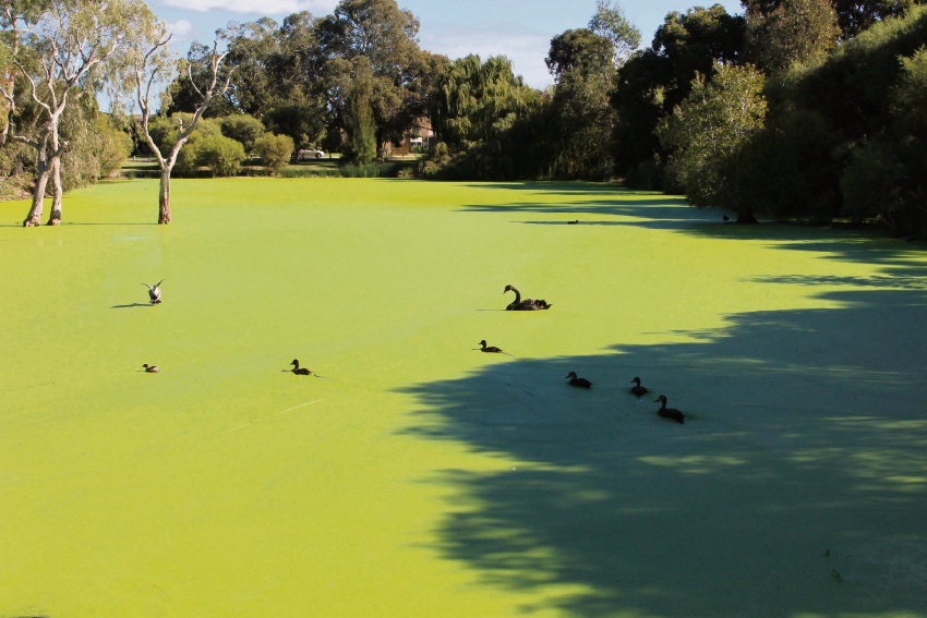The duckweed in the lake at Neil McDougall Park.