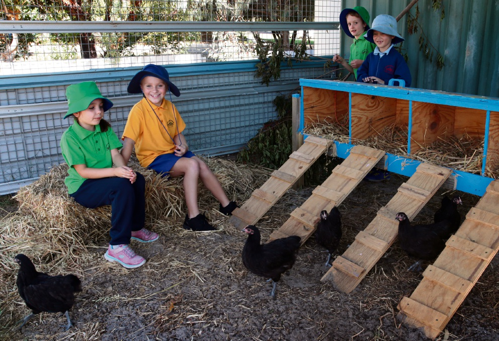 Year 2 students Layla Russell, Darcy White, Lachie Emery and Hardy Herrmann getting to know their new chickens. Picture: Martin Kennealey d469284