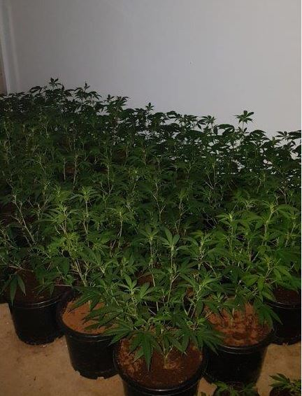 Warnbro: police uncover more than 200 cannabis plants in search of home