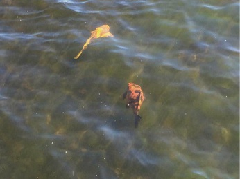 Environmentally damaging koi carp fish have been spotted in Lake Gwelup