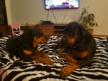 Missy and Brock, the Kenyon family's missing Rottweilers.