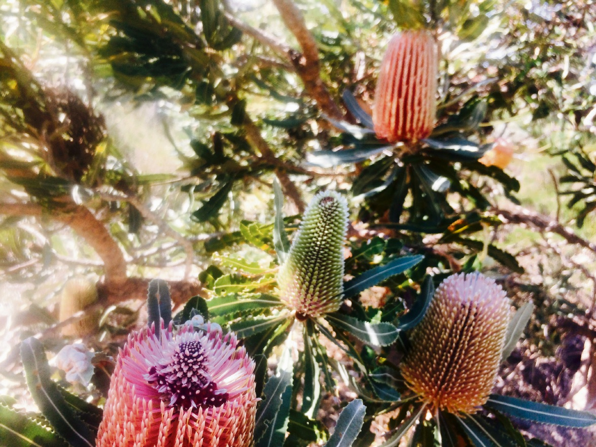 Australia's Iconic Plant the Banksia in All its Glory Throughout its Stages by Samantha Wilson (14)