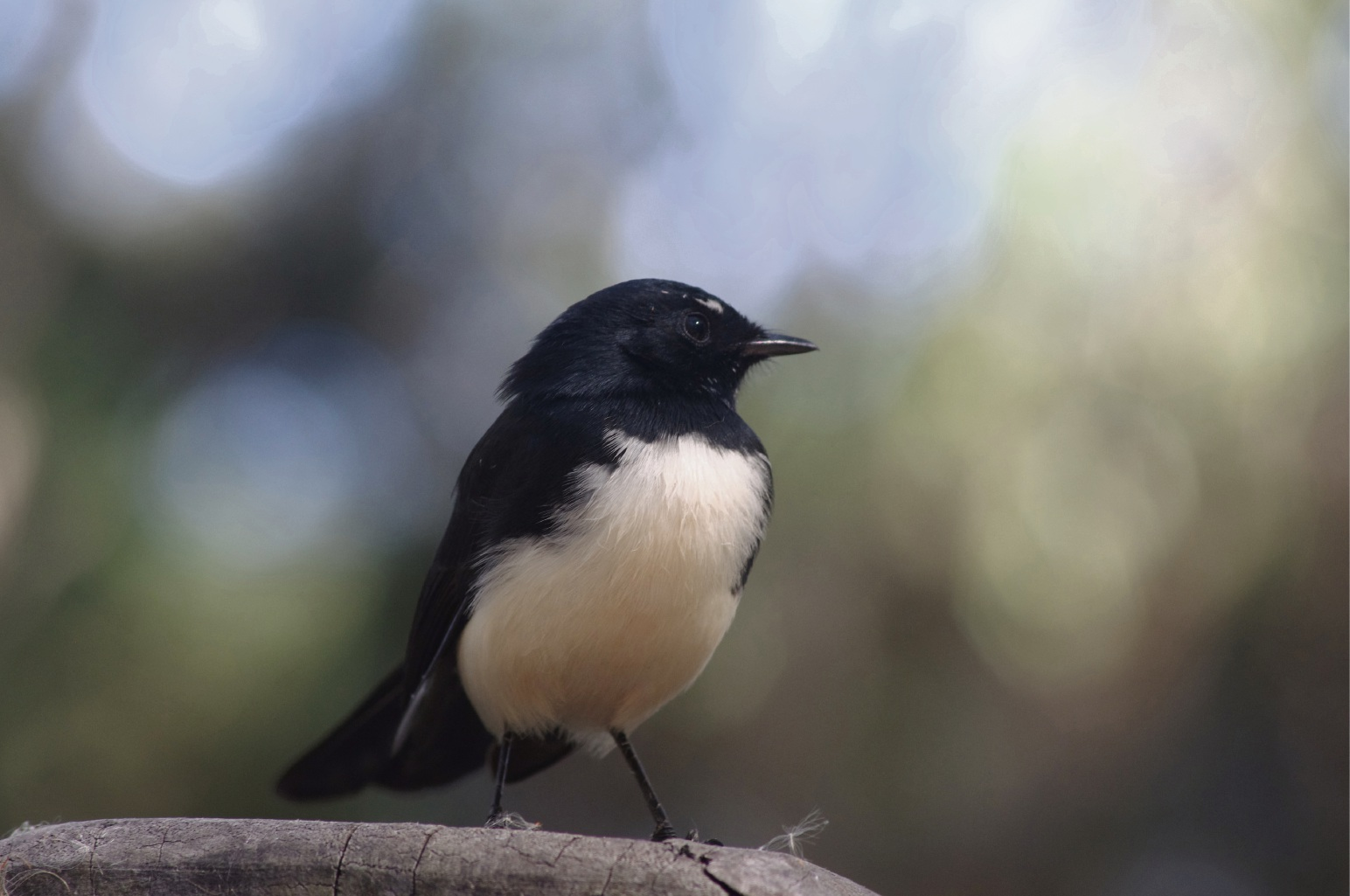 All Hail, it's the Wagtail! by Samantha Denehy-Johnson (13)